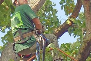 Die Baumkronen werde mithilfe der Klettertechnik geschnitten und gepflegt. Bei Bedarf kommen auch Hubsteiger zum Einsatz